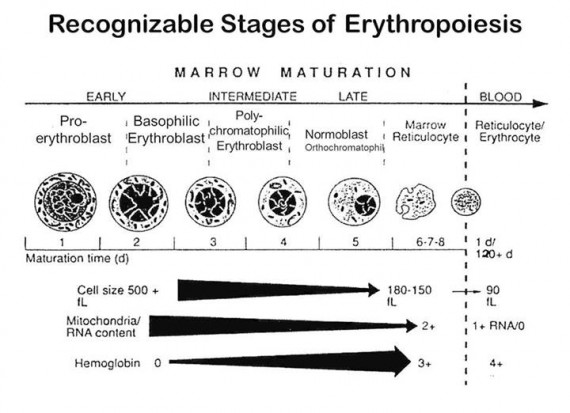Stages of Erythropoiesis