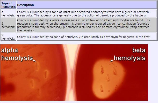 Alpha, Beta and Gamma Hemilysis on Blood Agar