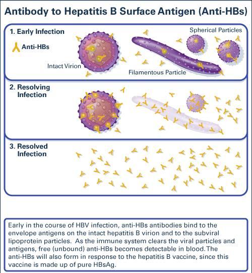 Antibody to Hepatitis B Surface Antigen