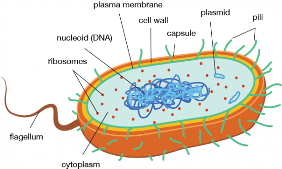 Bacteria - Cell Structure