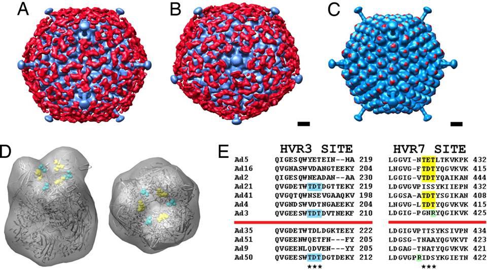 Human adenoviruses (HAdV)