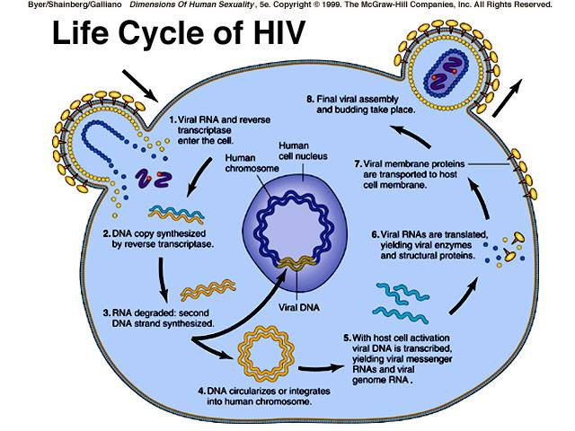 life cycle of hiv medical laboratories. Black Bedroom Furniture Sets. Home Design Ideas