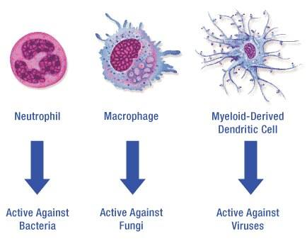 Neutrophil, Macrophage and Myeloid-Derived Dendritic Cell Function