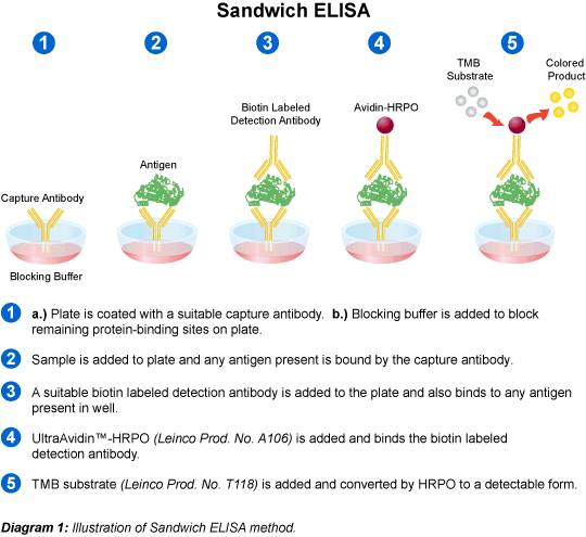 Sandwich Elisa Diagram | Medical Laboratories