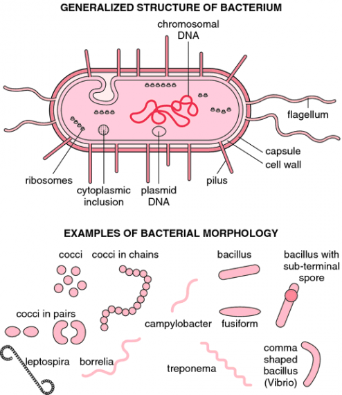 Structure of bacteria and bacterial morphology