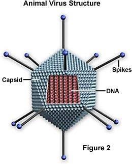 Virus Structure