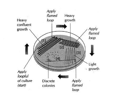 Bacterial Colony Isolation - quadrant method