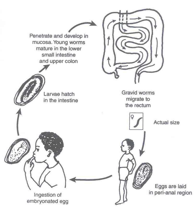 enterobius vermicularis transmission