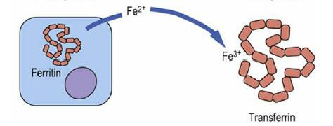 Transferrin and Ferritin