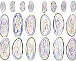 enterobius-vermicularis_eggs