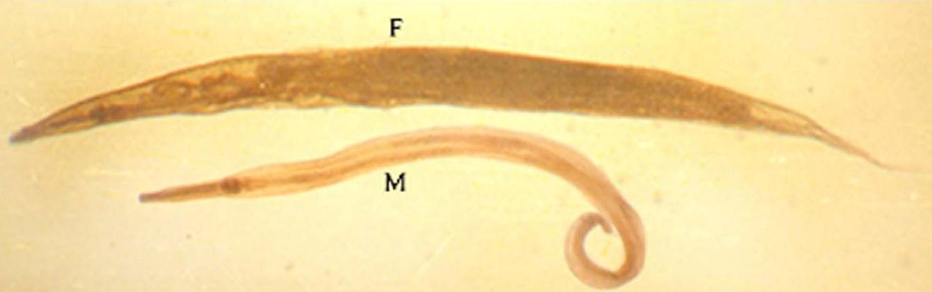 enterobius vermicularis male and female