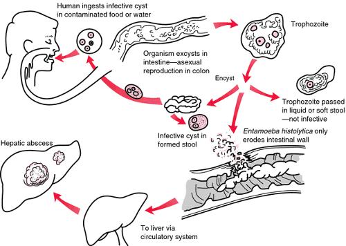 E.histolytica phathogenisis
