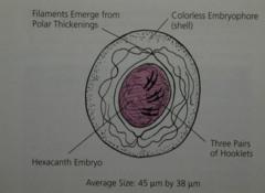 Hymenolepis Nana | Medical Laboratories