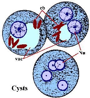 E.histolytica cyst