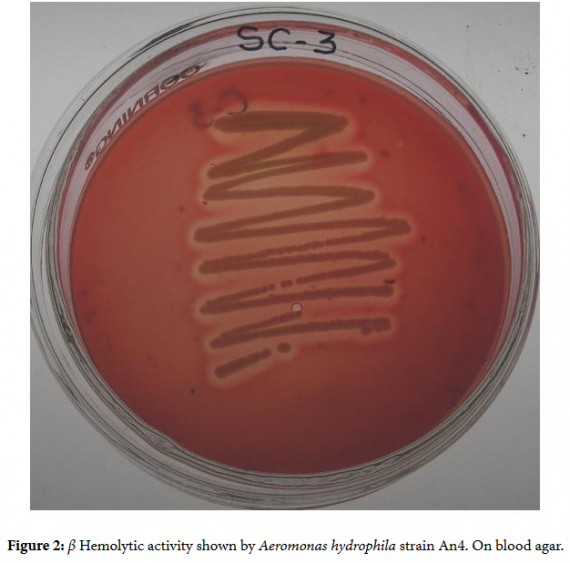 Aeromonas sp - Beta Hemolytic on Blood Agar
