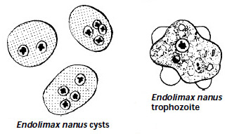 Endolimax nana trophozite and cyst morphology