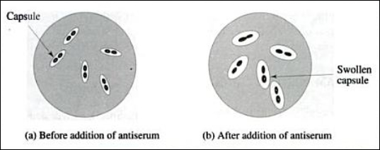 Swollen Pneumococci Capsule