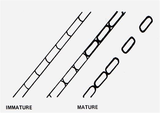 Arthroconidia formation