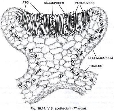 Asci and Ascospores