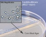 Candida spp on Corn Meal Agar