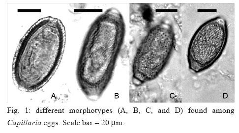 Capillaria philippinensis egg morphology