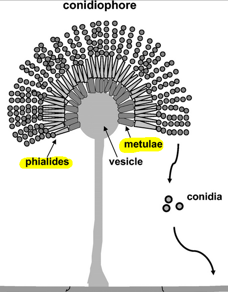 Difference between phialides and metulae