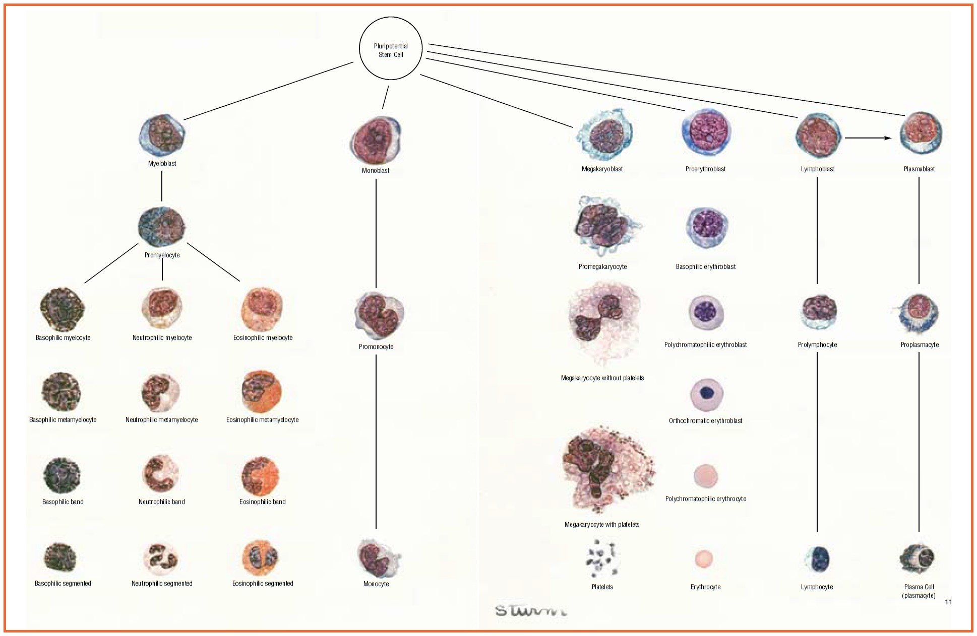 White Blood Cells  Description  Classification And