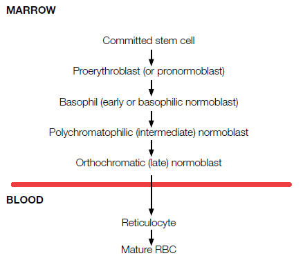 Formation of RBCs