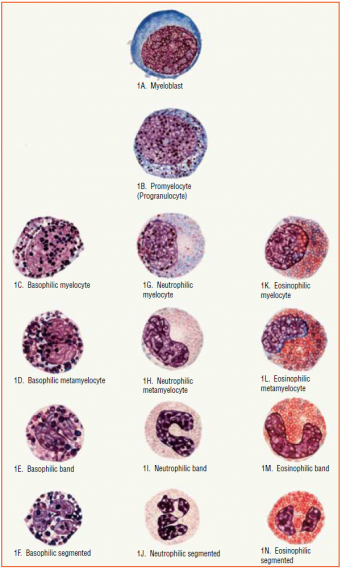 ranulocytes. Granules are evident in each cell. C-F are basophils, G-J are neutrophils, and K-N are eosinophils. E, I, and M are band forms. F, J, and N are segmented forms.