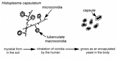 Illustration of the Life Cycle of the Dimorphic Fungus Histoplasma capsulatum