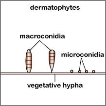 Macroconidia and Microconidia of Dermatophytes