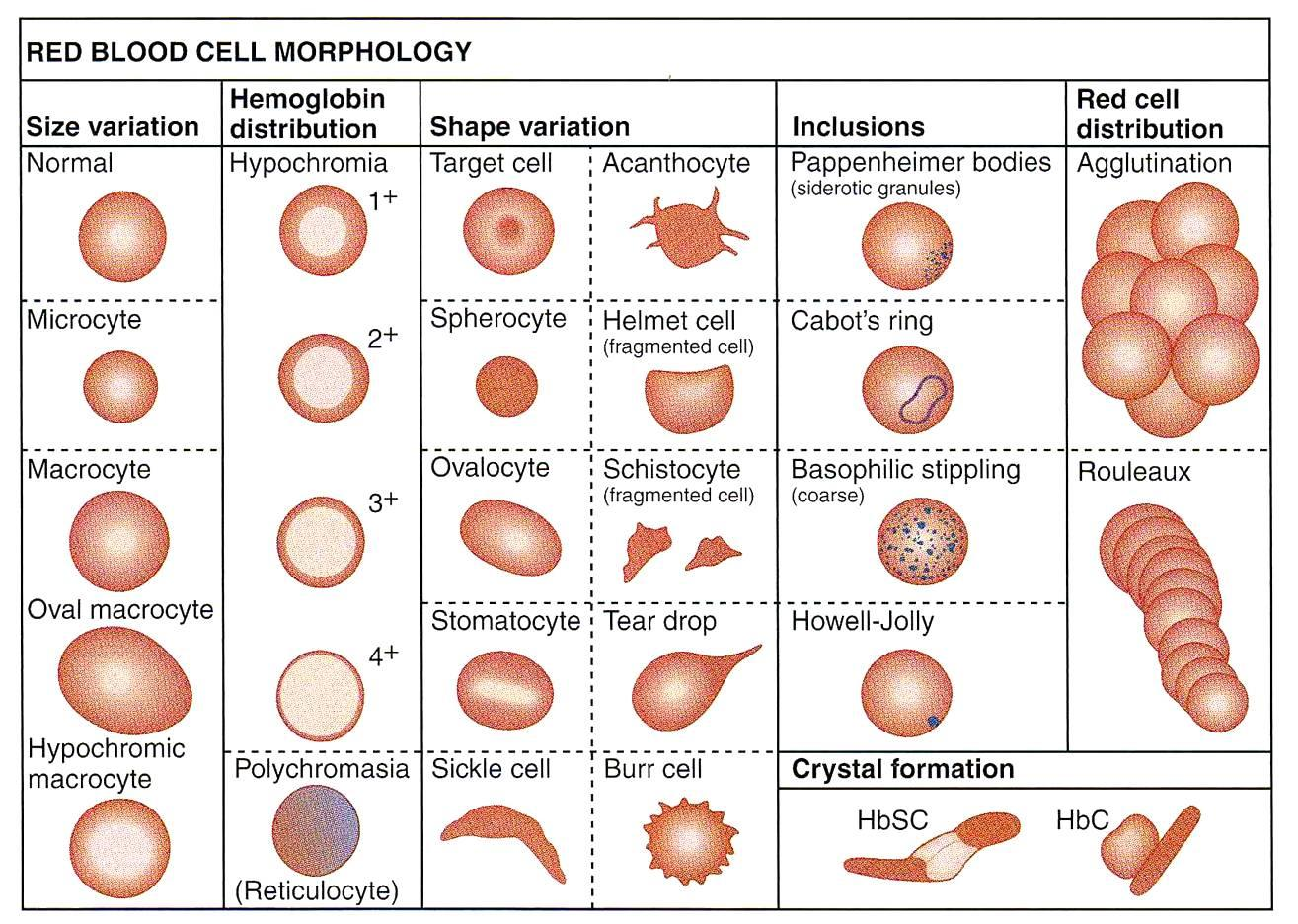 Dog Anemia Red Blood Cell Morphology