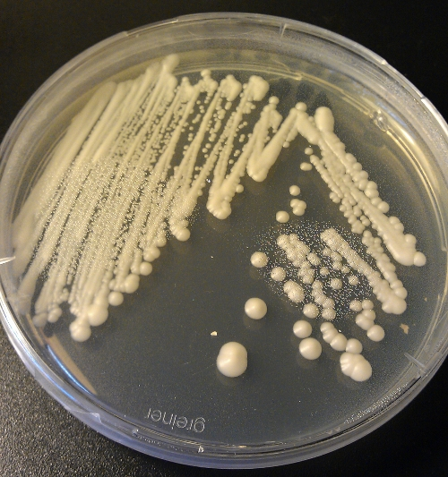 Yeast colonies on agar