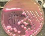 Klebsiella sp colonies