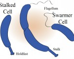 Caulobacter - Stalked and Swarmer Cell
